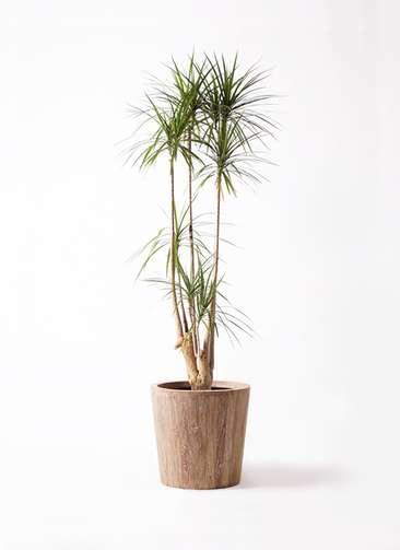 観葉植物 ドラセナ コンシンネ 10号 ウッドプランター