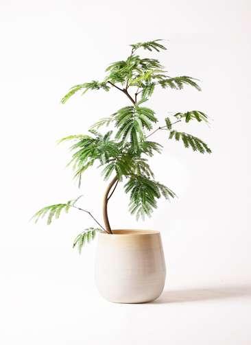 観葉植物 エバーフレッシュ 8号 曲り ササール 白 付き