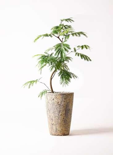 観葉植物 エバーフレッシュ 8号 曲り アトランティス クルーシブル 付き