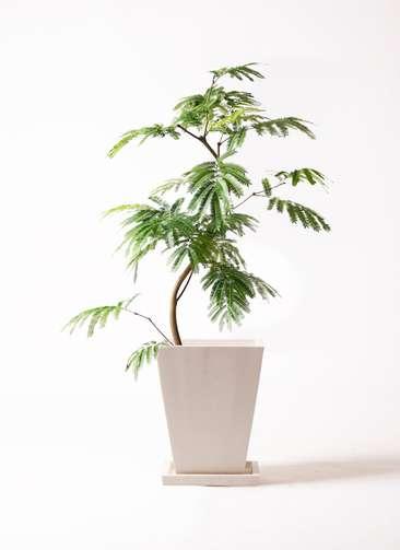 観葉植物 エバーフレッシュ 8号 曲り パウダーストーン 白 付き