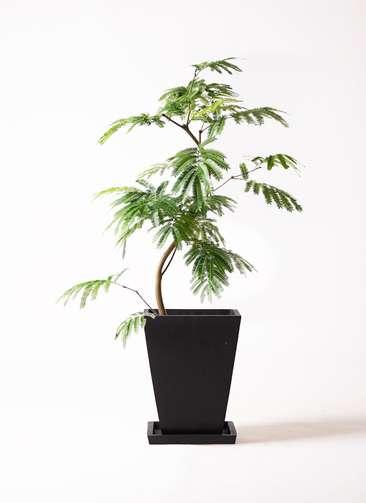 観葉植物 エバーフレッシュ 8号 曲り パウダーストーン 黒 付き
