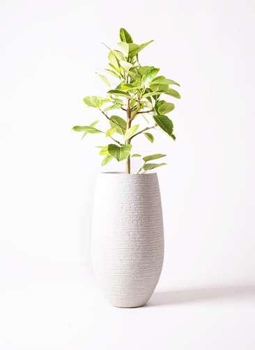 観葉植物 フィカス アルテシーマ 7号 ストレート フォンティーヌトール 白 付き