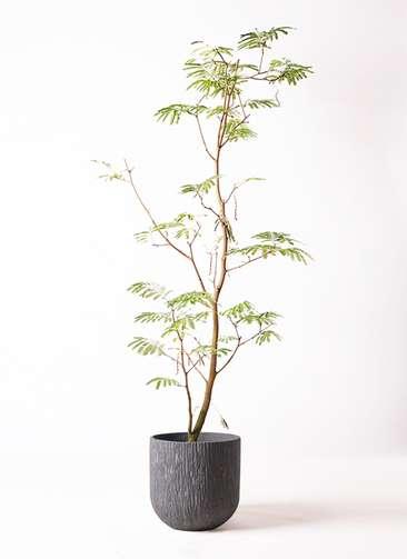 観葉植物 エバーフレッシュ 10号 ボサ造り カルディナダークグレイ