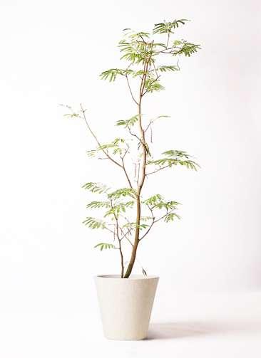 観葉植物 エバーフレッシュ 10号 ボサ造り フォリオソリッド クリーム