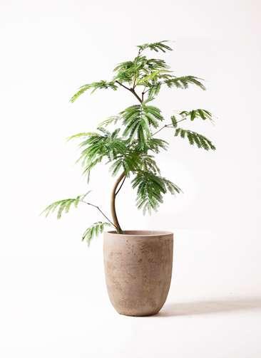 観葉植物 エバーフレッシュ 8号 曲り ルーガ アンティコ アルトエッグ 付き