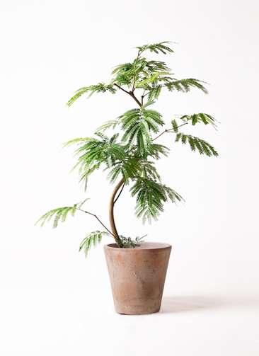 観葉植物 エバーフレッシュ 8号 曲り ルーガ アンティコ ソリッド 付き