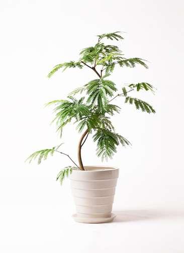 観葉植物 エバーフレッシュ 8号 曲り サバトリア 白 付き