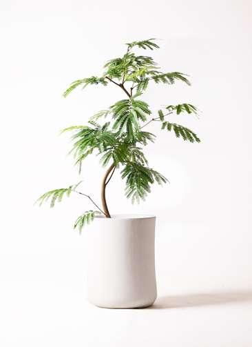 観葉植物 エバーフレッシュ 8号 曲り バスク ミドル ホワイト 付き