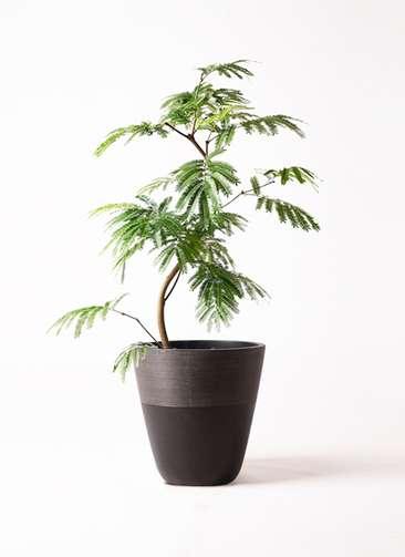 観葉植物 エバーフレッシュ 8号 曲り ジュピター 黒 付き