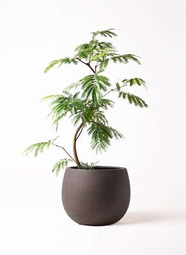 観葉植物 エバーフレッシュ 8号 曲り テラニアス ローバルーン アンティークブラウン 付き