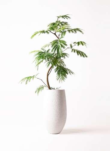 観葉植物 エバーフレッシュ 8号 曲り フォンティーヌトール 白 付き