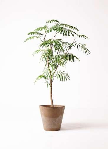 観葉植物 エバーフレッシュ 8号 ボサ造り アートストーン ラウンド ベージュ 付き