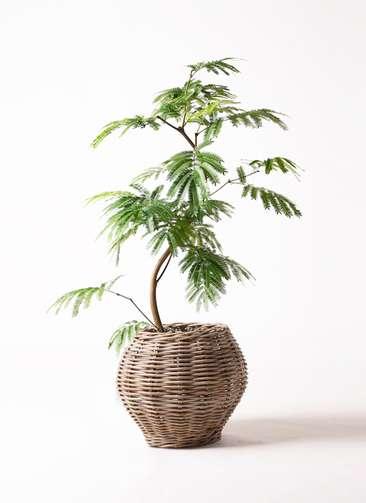 観葉植物 エバーフレッシュ 8号 曲り グレイラタン 付き