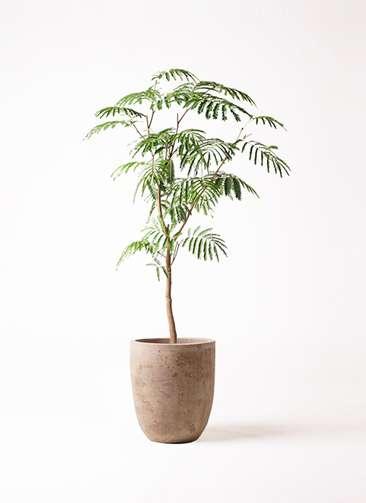 観葉植物 エバーフレッシュ 8号 ボサ造り ルーガ アンティコ アルトエッグ 付き