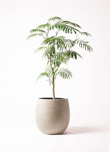 観葉植物 エバーフレッシュ 8号 ボサ造り テラニアス バルーン アンティークホワイト 付き