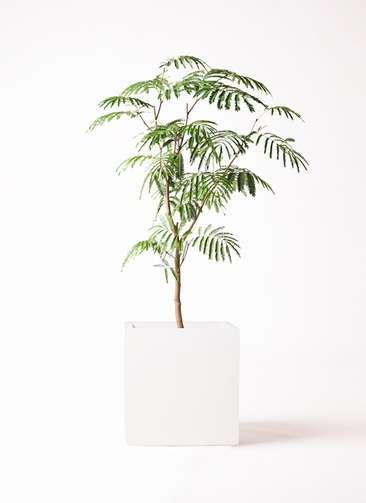 観葉植物 エバーフレッシュ 8号 ボサ造り バスク キューブ 付き