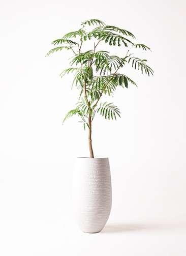 観葉植物 エバーフレッシュ 8号 ボサ造り フォンティーヌトール 白 付き