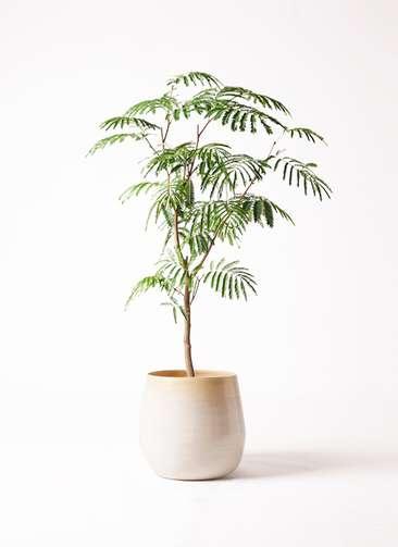 観葉植物 エバーフレッシュ 8号 ボサ造り ササール 白 付き