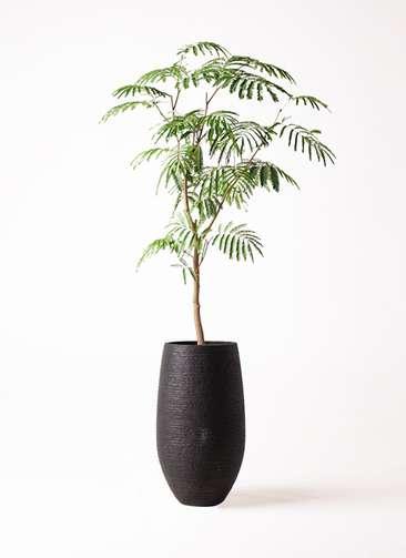 観葉植物 エバーフレッシュ 8号 ボサ造り フォンティーヌトール 黒 付き