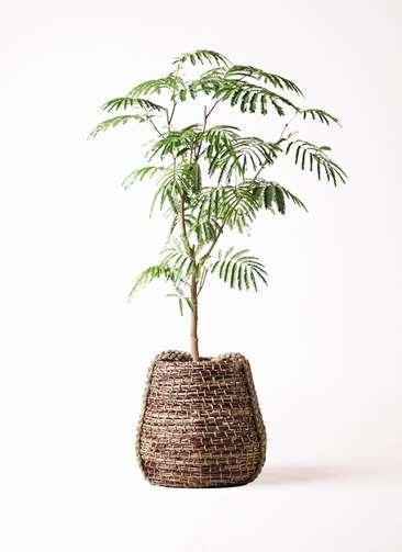 観葉植物 エバーフレッシュ 8号 ボサ造り リゲル 茶 付き