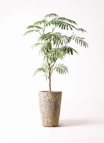 観葉植物 エバーフレッシュ 8号 ボサ造り アトランティス クルーシブル 付き