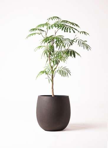 観葉植物 エバーフレッシュ 8号 ボサ造り テラニアス バルーン アンティークブラウン 付き