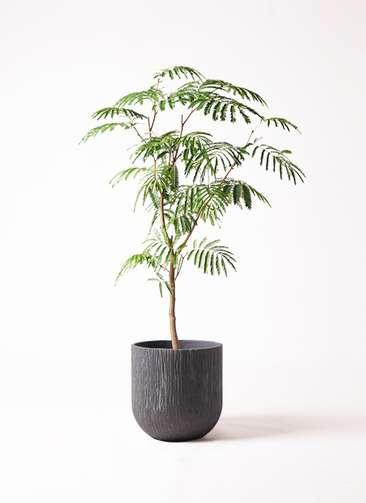 観葉植物 エバーフレッシュ 8号 ボサ造り カルディナダークグレイ 付き