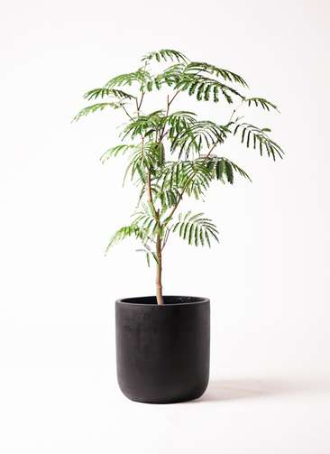 観葉植物 エバーフレッシュ 8号 ボサ造り エルバ 黒 付き