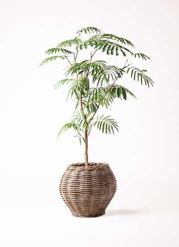 観葉植物 エバーフレッシュ 8号 ボサ造り グレイラタン 付き