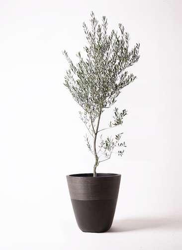 観葉植物 オリーブの木 10号 創樹 ジュピター 黒 付き