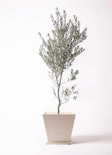 観葉植物 オリーブの木 10号 創樹 パウダーストーン 白 付き