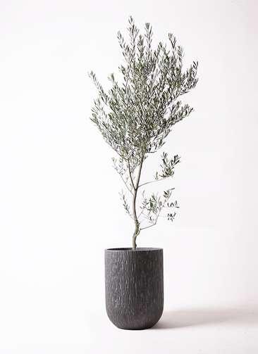 観葉植物 オリーブの木 10号 創樹 カルディナトールダークグレイ 付き