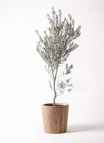 観葉植物 オリーブの木 10号 創樹 ウッドプランター 付き