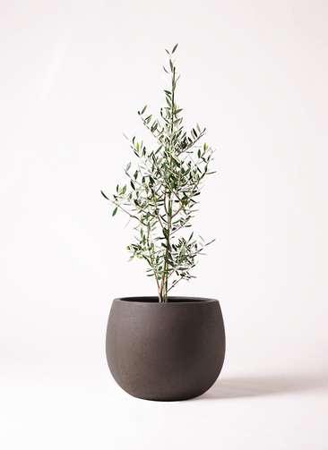 観葉植物 オリーブの木 8号 コロネイキ テラニアス ローバルーン アンティークブラウン 付き
