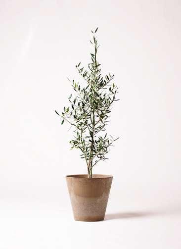 観葉植物 オリーブの木 8号 コロネイキ アートストーン ラウンド ベージュ 付き