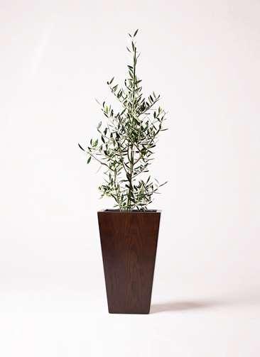 観葉植物 オリーブの木 8号 コロネイキ MOKU スクエア 付き