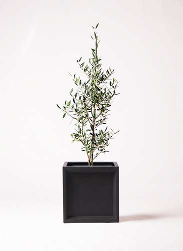 観葉植物 オリーブの木 8号 コロネイキ ブリティッシュキューブ 付き