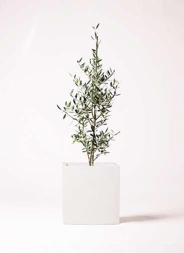 観葉植物 オリーブの木 8号 コロネイキ バスク キューブ 付き