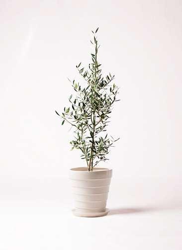 観葉植物 オリーブの木 8号 コロネイキ サバトリア 白 付き