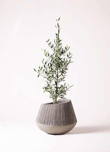 観葉植物 オリーブの木 8号 コロネイキ エディラウンド グレイ 付き