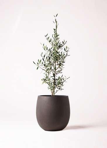 観葉植物 オリーブの木 8号 コロネイキ テラニアス バルーン アンティークブラウン 付き