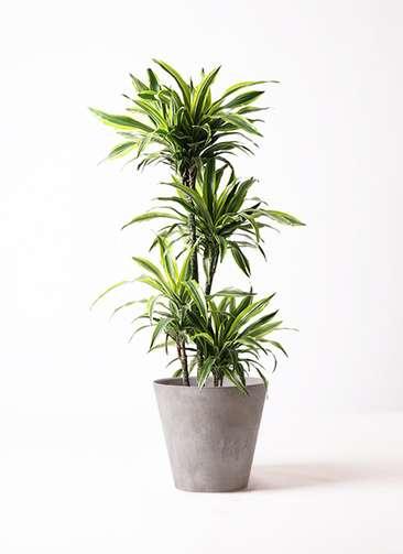 観葉植物 ドラセナ ワーネッキー レモンライム 10号 アートストーン ラウンド グレー 付き