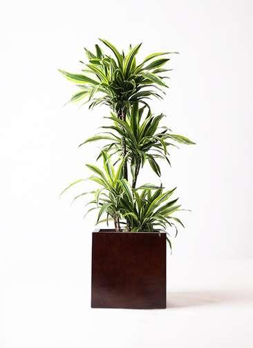 観葉植物 ドラセナ ワーネッキー レモンライム 10号 MOKU キューブ 付き