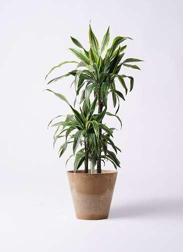 観葉植物 ドラセナ ワーネッキー レモンライム 8号 アートストーン ラウンド ベージュ 付き