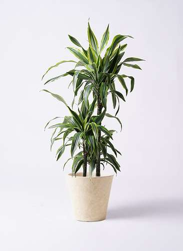 観葉植物 ドラセナ ワーネッキー レモンライム 8号 フォリオソリッド クリーム 付き