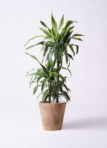 観葉植物 ドラセナ ワーネッキー レモンライム 8号 ルーガ アンティコ ソリッド 付き