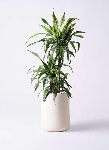 観葉植物 ドラセナ ワーネッキー レモンライム 8号 バスク ミドル ホワイト 付き