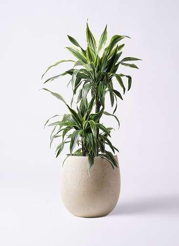 観葉植物 ドラセナ ワーネッキー レモンライム 8号 テラニアス バルーン アンティークホワイト 付き