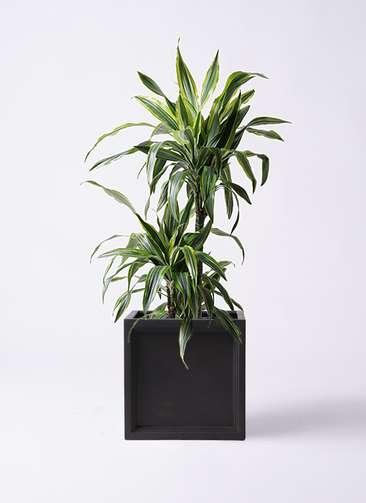 観葉植物 ドラセナ ワーネッキー レモンライム 8号 ブリティッシュキューブ 付き