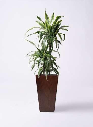 観葉植物 ドラセナ ワーネッキー レモンライム 8号 MOKU スクエア 付き